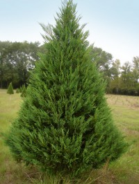 Choose & Cut Christmas Trees – Plantation Pines