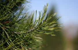 Learn about the growth and care of Christmas Trees.