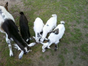 goats-on-the-farm