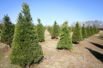 rows-of-pine-christmas-trees