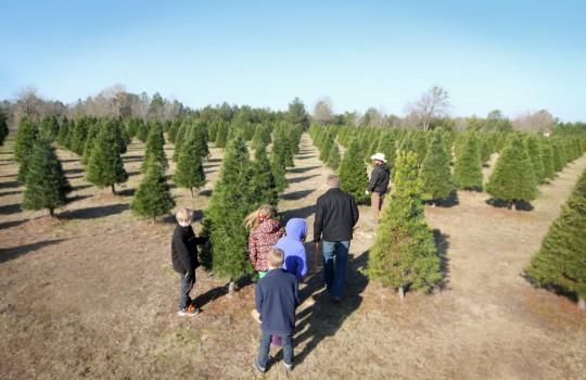 Christmas Tree Farm in Tyler, TX - Plantation Pines